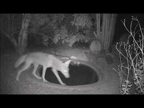Nocturnal Wildlife at Sonoran Desert Water Hole