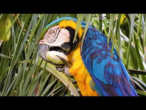 Macaw eating coconut Bacuri, Birds in search of food, Blue-and-yellow Macaw, Ara ararauna,