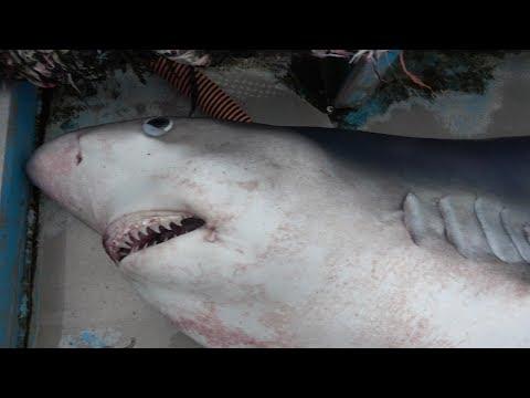 【衝撃】200キロのサメをさばいたらお腹の中がすごかった。CannibalSharkHunchedCut
