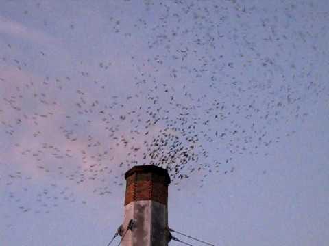 Vaux's swifts at Chapman Elementry-Portland Oregon