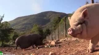 Comienza el día con el desayuno de los cerdos