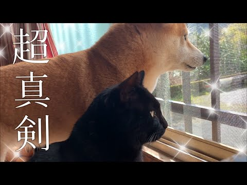 鳩に夢中で寒さを忘れてたけどやっぱり寒かった柴犬 Dog and Cat Stare at Pigeons