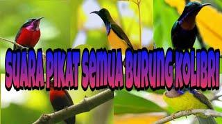 Suara pikat semua burung kolibri pasti lengket