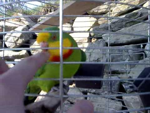 Papušek Nádherný (Superb Parrot) – Kubí?ek