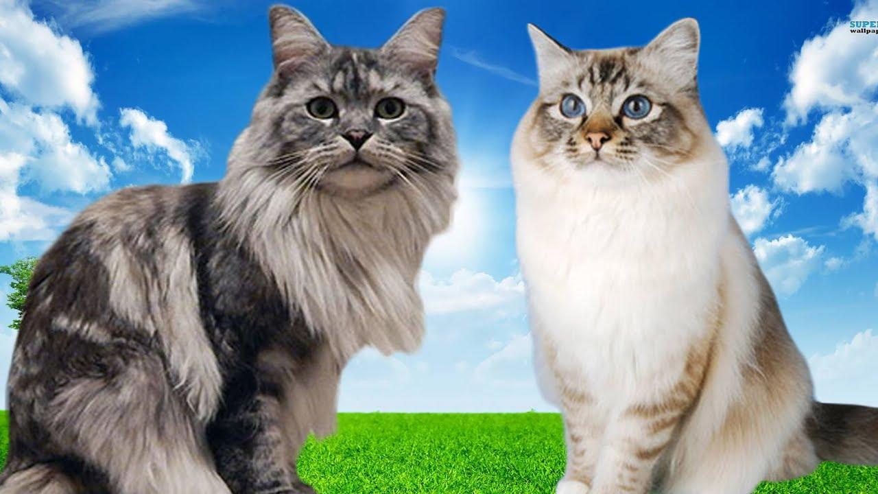 Birman cat vs ragdoll