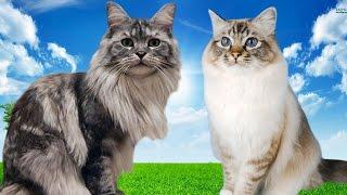 Maine Coon vs Birman Cat  Differences Explained