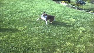Roxy4 (flashy Brindle) With Northwest Boxer Rescue