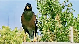 Call or Song of Male & Female Call of common Myna Male & Female  Call of common Myna