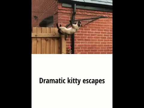 Ninja Cat escapes from £1000 cat proof fence over and over again....