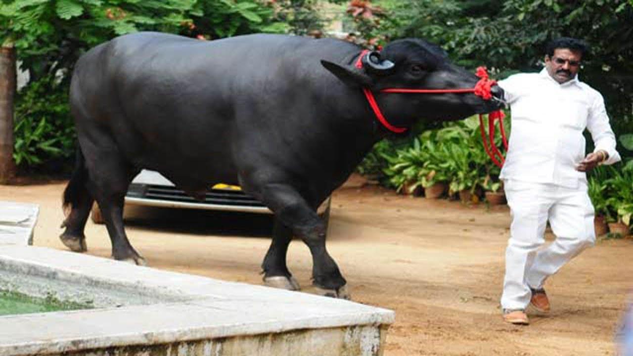 Hyderabad Gears up for Traditional Buffalo festival 'Sadar' || Sakshi TV