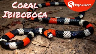 COBRA CORAL IBIBOBOCA   Cobras Brasileiras #8   Papo de Cobra