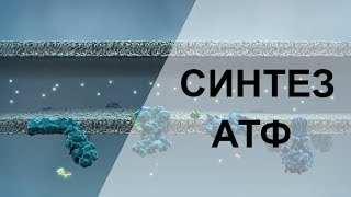 Как образуется энергия - синтез АТФ в МИТОХОНДРИЯХ