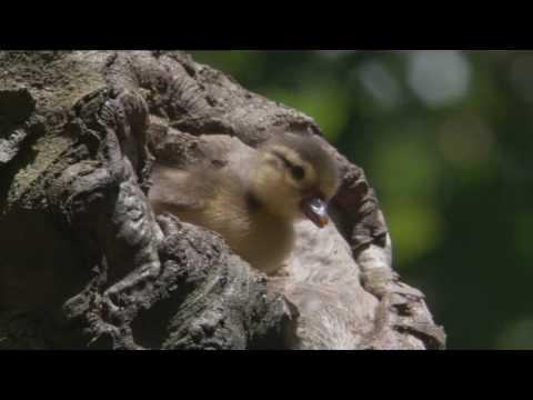 Brave little mandarin ducklings (Earth)