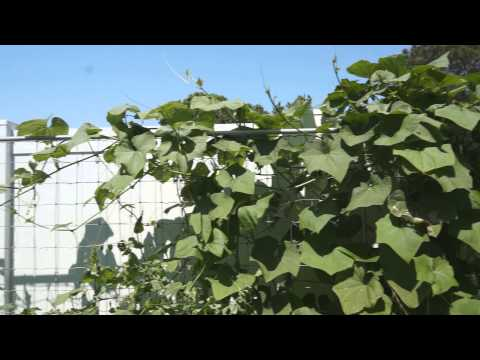 How to grow Chayote from Fruit to Fruits ?????