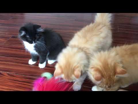 RagaMuffin Kittens-Vampire Diaries Litter 13.5wks-Imperial Rags