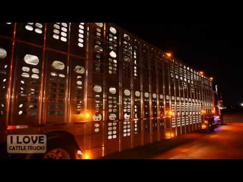 Loading cattle in Abilene, Texas