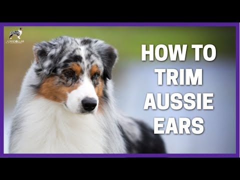 How To Trim Aussie Ears