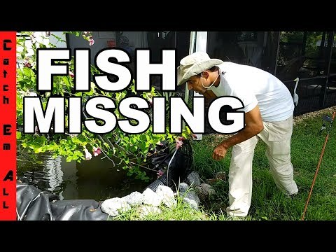 PET FISH MISSING...THIEF BACK HOME!