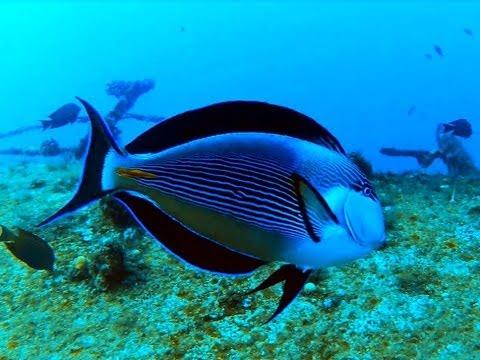 Sohal Tang - Dancing Fish