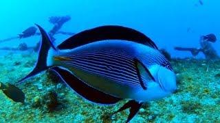 �������� ���� Sohal tang - Dancing fish ������