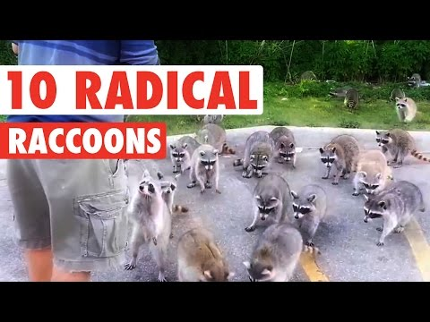 Cute Radical Raccoons Pet Compilation 2016