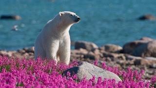 Лето белых медведей