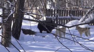Притравка молодых собак Беркут (8 месяцев) и Ермак (10 месяцев)