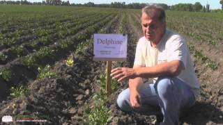 Сорт картофеля Дельфине (Германия)(Сорта картофеля (фото/видео): http://ovochevii-dim.com.ua/sorty-kartofelya.html Сорт картофеля Дельфине (Германия) http://ovochevii-dim.com.ua/..., 2015-06-18T11:18:54.000Z)