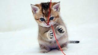 Смешные кошки  Пушистая кошка просит поиграться