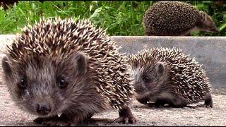 Ёжики бегают по городу среди бела дня || hedgehogs in the town