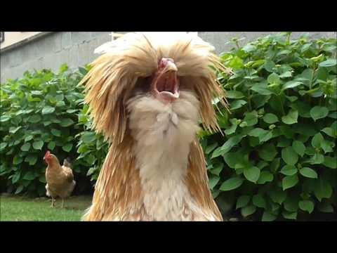 Giovane gallo padovano che canta