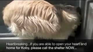 Baixar Koby - Available for adoption at www.wheatenterrierrescue.org