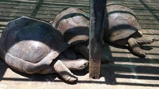 черепахи. Ботанический сад Маврикий. 20102021