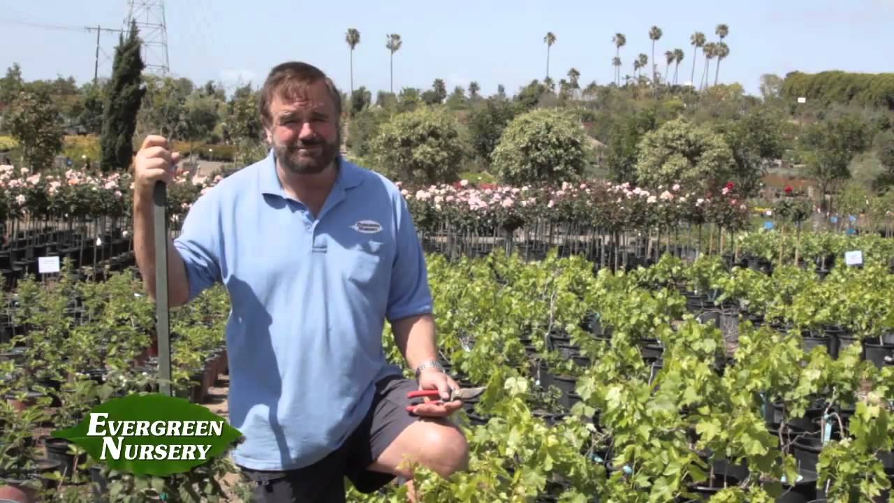 Fruit Trees G Berries Plant Nursery In San Go Evergreen
