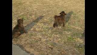 神奈川県相模原市の赤狼荘作出の甲斐犬の仔犬たちです。 オス1頭とメス...