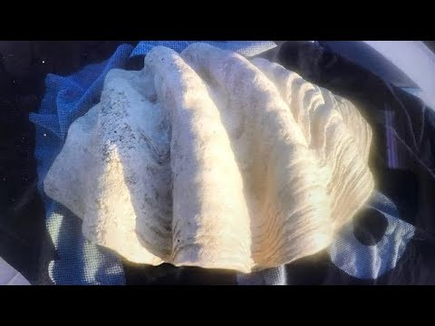 LARGEST CLAM SHELL WITH REAL PEARLS.. LOOK AT THE SIZE OF THIS!