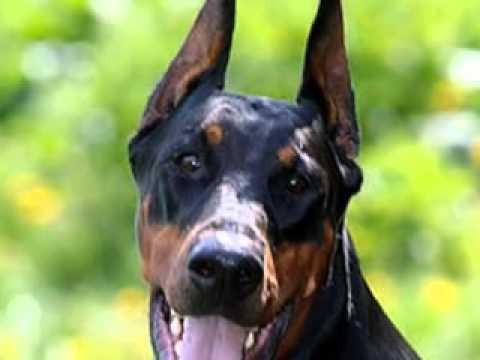 Doberman And Rottweiler Comparison | www.pixshark.com ...