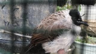 Tips Membedakan Jenis Kelamin Burung Kutilang