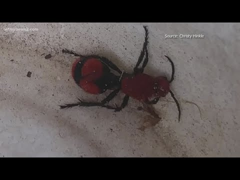 VERIFY: This 'mystery' bug is a velvet ant…and it's not an ant at all