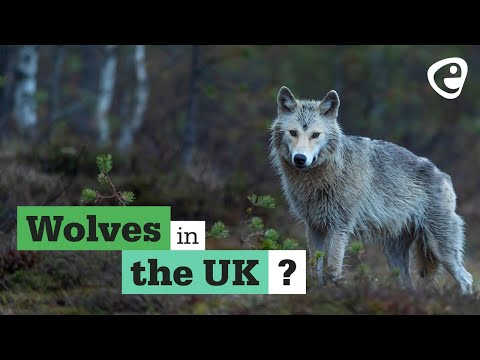 Reintroductions: Can Wolves return to the UK?