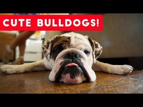 The Funniest Bulldog Videos of 2017 Weekly Compilation | Funny Pet Videos