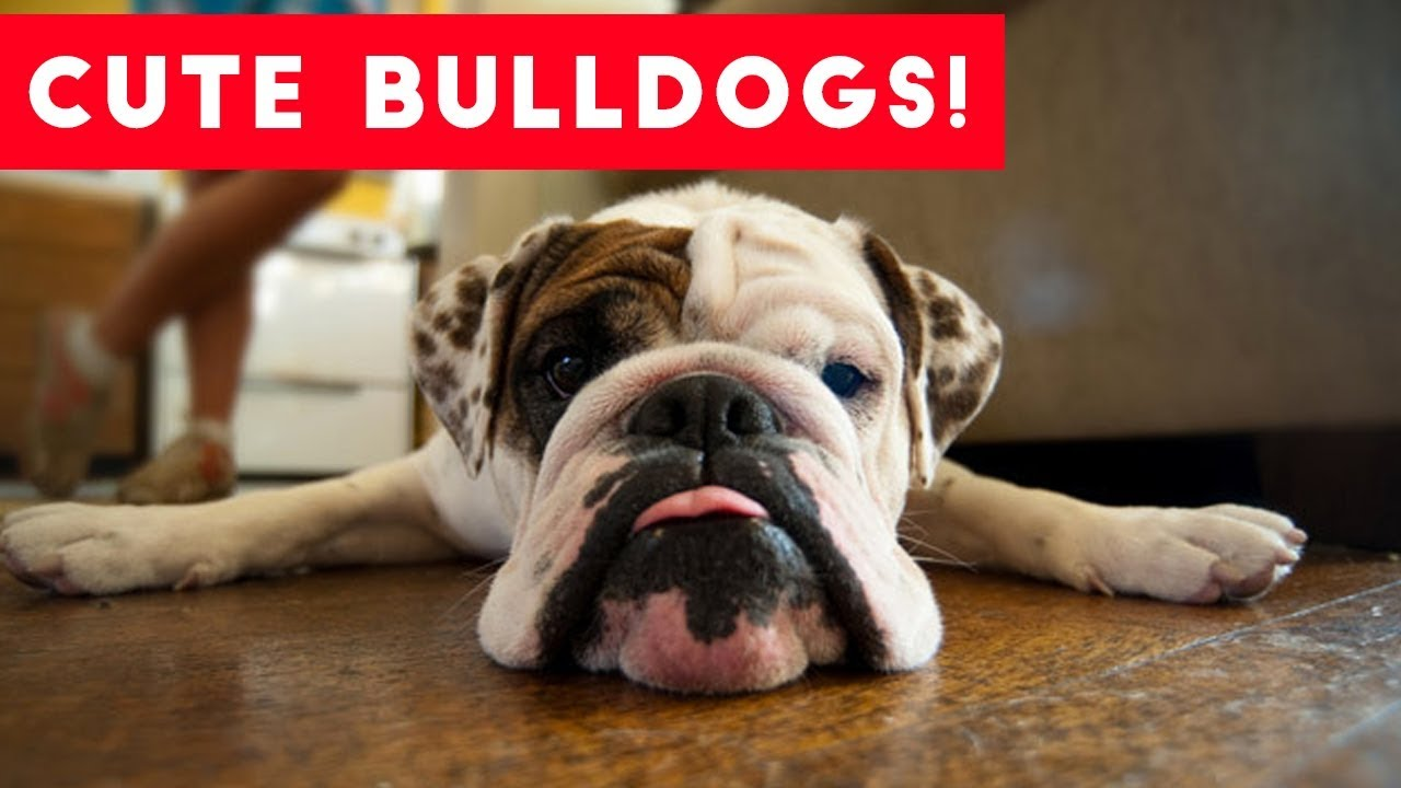 The Funniest Bulldog Videos of 2017 Weekly pilation
