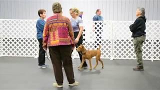 Irish Terrier In Obedience