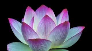 酔妃蓮 〜儚くも美しき四日間の奇跡〜 Beautiful lotus flower  蓮の花 癒しの風景