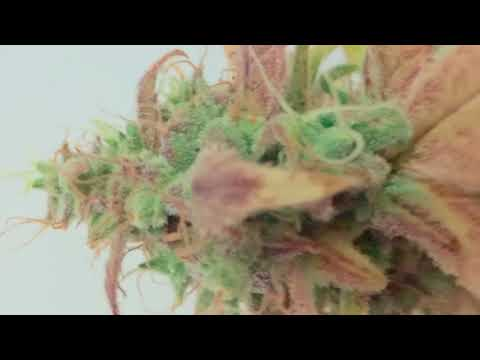 Auto Afghan Skunk (Advanced Seeds): Cosecha