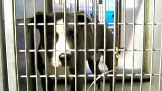 Blue And White Pit Bull In Kansas City Shelter