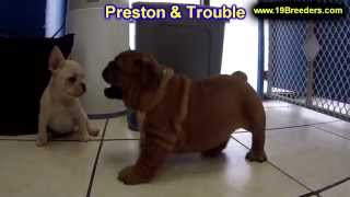 English Bulldog, Puppies, For, Sale, In, Minneapolis, Minnesota, Mn, Inver Grove Heights, Roseville,