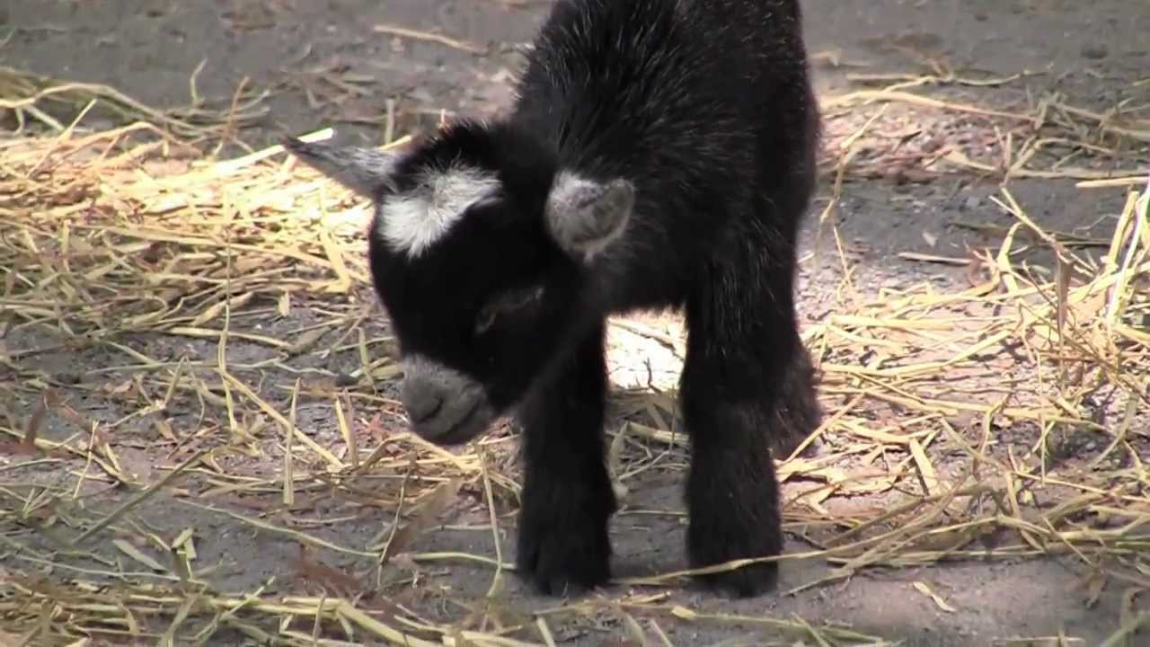 Baby African Pygmy Goat @ The Maryland Zoo