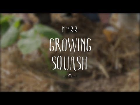 Red kuri squash: sowing, planting, growing and harvesting