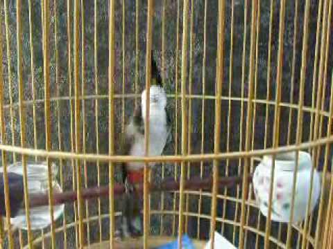 Chào mào Bl---2007-03/2010---chào mào mồi chiến